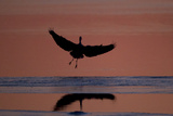 A Silhouetted Great Blue Heron, Ardea Herodias, Prepares to Land in Waters Painted by Sunset Photographic Print by Robbie George
