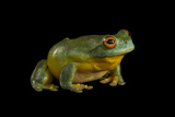 A Southern Orange-Eyed Tree Frog, Litoria Chloris, at the Wild Life Sydney Zoo Photographic Print by Joel Sartore