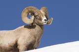 Portrait of a Bighorn Sheep, Ovis Canadensis, Against a Blue Sky Photographic Print by Robbie George