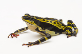 A Rare Limon Harlequin Frog, Atelopus Limon Photographic Print by Joel Sartore