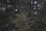 A Bald Eagle, Haliaeetus Leucocephalus, Perched in the Top of a Conifer Photographic Print by Robbie George
