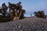 A Runner in a Bristlecone Pine Forest Photographic Print by Ben Horton