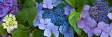 Close-Up of Hydrangea Flowers Fotodruck von Panoramic Images