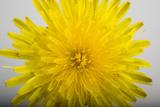 A Common Dandelion, Taraxacum Officinale Fotografisk tryk af Joel Sartore