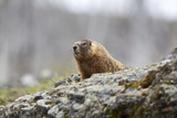 A Yellow-Bellied Marmot, Marmota Flaviventris, Peering over a Boulder Photographic Print by Robbie George
