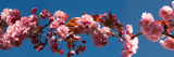 Cherry Blossom Flowers Photographic Print by Panoramic Images
