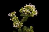 An Oregano Plant, Origanum Vulgare Photographic Print by Joel Sartore