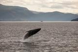 Among Mountains and Lush Hillsides, a Humpback Whale, Megaptera Novaeangliae, Breaches the Water Photographic Print by Eric Kruszewski