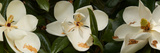 Close-Up of Magnolia Flowers Photographic Print by Panoramic Images