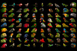 Composite of 90 Different Species of Parrots Photographic Print by Joel Sartore