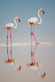 Greater Flamingos (Phoenicopterus Roseus) in a Lake, Ndutu, Ngorongoro Conservation Area, Tanzania Photographic Print by Green Light Collection