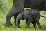 An African Elephant Calf Pushing its Mother's Leg Photographic Print by Beverly Joubert