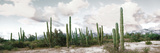Cardon Cactus Plants in a Forest, Loreto, Baja California Sur, Mexico Fotografisk trykk av Panoramic Images