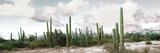 Cardon Cactus Plants in a Forest, Loreto, Baja California Sur, Mexico Fotoprint av Panoramic Images
