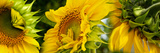 Close-Up of Sunflowers Photographic Print by Panoramic Images