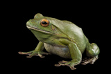 A White Lipped Tree Frog, Litoria Infrafrenata, at the Wild Life Sydney Zoo Photographic Print by Joel Sartore