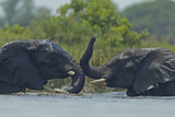 Two African Elephants Playing in the Water Photographic Print by Beverly Joubert