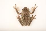 A Cope's Gray Tree Frog, Hyla Chrysoscelis, at Cross Lake, Minnesota Photographic Print by Joel Sartore