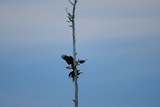Male and Female Bald Eagles, Haliaeetus Leucocephalus, Mating on a Perch Photographic Print by Robbie George