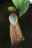 Pitcher Plant, Nepenthes Tentaculata, in the Cloud Forest on Mount Kinabalu Photographic Print by Gabby Salazar
