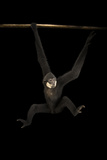An Endangered, Male Southern White-Cheeked Gibbon Photographic Print by Joel Sartore