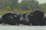 Two African Elephants Sparring and Playing in the Water Photographic Print by Beverly Joubert