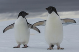 A Pair of Adelie Penguin, Pygoscelis Adeliae, in the South Shetland Islands Photographic Print by Cristina Mittermeier