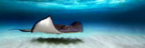 Southern Stingray (Dasyatis Americana), North Sound, Grand Cayman, Cayman Islands Fotoprint av Panoramic Images