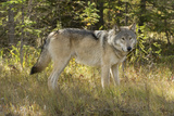 An Alert Gray Wolf, Canis Lupus, Stands in the Forest of Jasper National Park Fotografisk tryk af Barrett Hedges