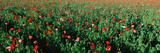 Field of Flowers, Texas Photographic Print by Panoramic Images