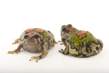 Endangered Malagasy Rainbow Frogs, Scaphiophryne Gottlebei Photographic Print by Joel Sartore
