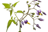 A Bittersweet Nightshade Plant, Solanum Dulcamara Photographic Print by Joel Sartore