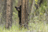 A Black Bear Cub, Ursus Americanus, Stands Behind a Tree Photographic Print by Barrett Hedges