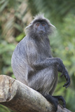 A Silvery Lutung, Trachypithecus Cristatus, Sits on a Log in the Rainforest Photographic Print by Gabby Salazar