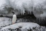 A Gentoo Penguin, Pygoscelis Papua, on the Antarctic Peninsula Photographic Print by Cristina Mittermeier
