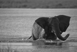 An African Elephant Running Through a Spillway Photographic Print by Beverly Joubert