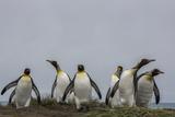 King Penguins, Aptenodytes Patagonicus, on Salisbury Plain Photographic Print by Cristina Mittermeier