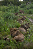 A Pride of Lions at Rest in a Line Photographic Print by Beverly Joubert