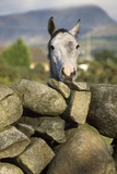 A Horse Peers over a Dry Stone Wall Photographic Print by Macduff Everton