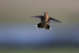 A Female Juvenile Ruby-Throated Hummingbird, Archilochus Colubris, Hovers Mid-Air Photographic Print by Robbie George