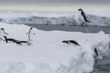 Adelie Penguins, Pygoscelis Adeliae, Exit the Sea Photographic Print by Cristina Mittermeier