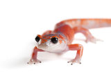 A Sierra Nevada Ensatina Salamander, Ensatina Eschscholtzi Platensis Photographic Print by Joel Sartore
