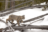 A Bobcat, Lynx Rufus, Walking Through a Snowy Landscape Photographic Print by Robbie George