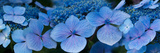 Close-Up of Raindrops on Blue Hydrangea Flowers Photographic Print by Panoramic Images