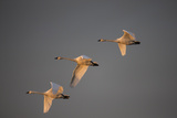 Tundra Swans, Cygnus Columbianus, in Flight, Catch the Light of the Setting Sun Photographic Print by Robbie George