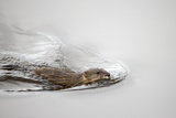 A Common Muskrat, Ondatra Zibethicus, Swimming Photographic Print by Robbie George