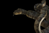 A Cook's Tree Boa, Corallus Cookii, at the Palm Beach Zoo Photographic Print by Joel Sartore