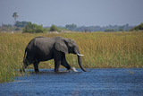 Elephant Crossing Spillway Photographic Print by Beverly Joubert