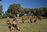 Gelada Baboons, Theropithecus Gelada, on a Hill Side Photographic Print by Cagan Sekercioglu