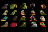 Composite of 20 Different Species of Parrots Reproduction photographique par Joel Sartore